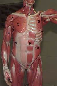 Muscle Torso Model Labeled