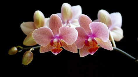 shenzhen nongke orchid wallpapers images  pictures