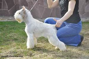 30+ Very Beautiful White Giant Schnauzer Pictures And Images