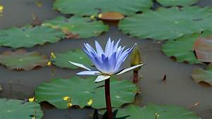 Water Lily Lotus - Splendid Wallpaper HD