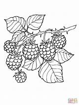 Blackberry Coloring Branch Pages Drawing Printable Blackberries Berries Supercoloring Fruit Rama Dessin Silhouettes Colorear Para sketch template