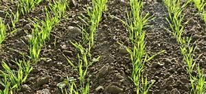 How Many Wheat Plants Do You Need