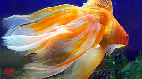 poisson voile de chine