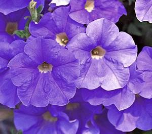 Petunia Surfinia® Sky Blue | White Flower Farm