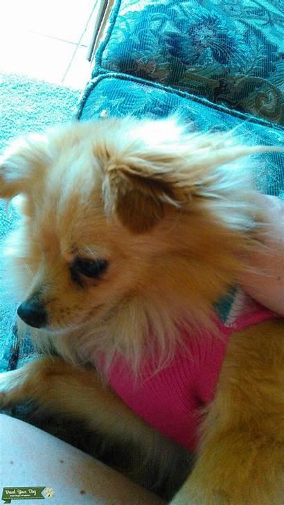 Tail Pomeranian Fan Golden Tan Stud Dog