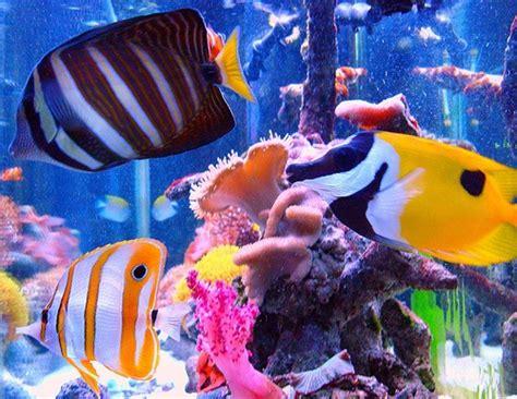 colorful saltwater fish colorful saltwater fish saltwater reef aquarium
