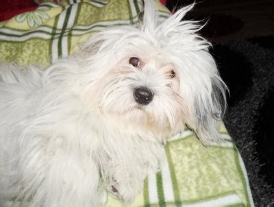 I Cant Decide Whether My Dog Is A Coton De Tulear Or A Havanese