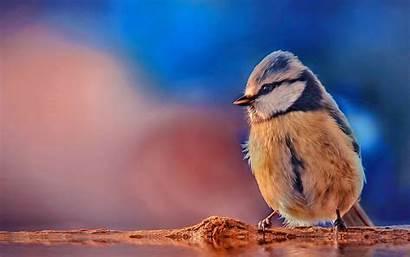 Bird Wallpapers Tiny Titmouse Birds Tufted Desktop