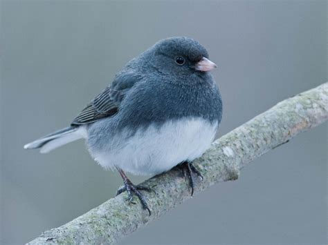 junco bird wallpapers 1024x768 182493