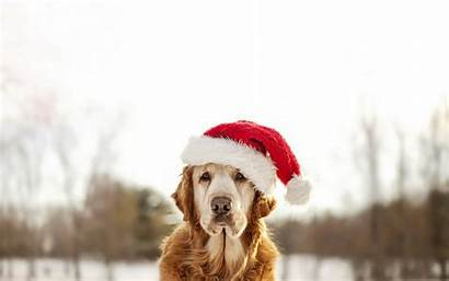 Winter Dog Christmas Wallpapers Animals Dogs Themes