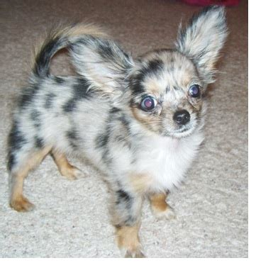 Do Haired Chiweenies Shed by Do Chihuahuas Shed Breeds Picture