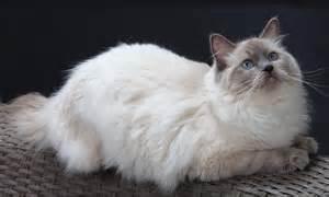 ragdoll cats for ragdoll cats cats