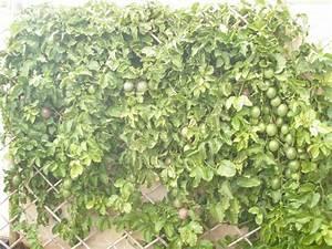 My Edible Fruit Trees: Passionfruit Vines WA