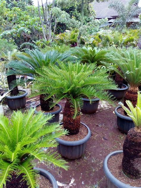 jual jual tanaman hias sikas anekataman tokopedia