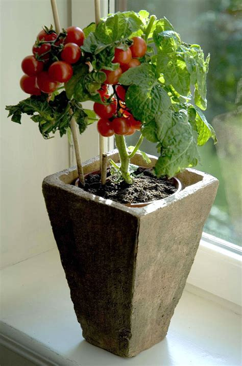 Tomato Container Gardens  The Garden Glove