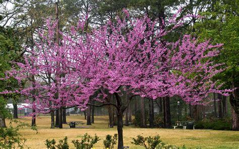 japanese redbud tree photos buy the rising sun redbud tree for sale from wilson bros gardens high quality plants