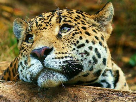 pictures jaguar cat jaguar animal facts
