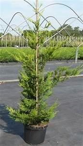 Haie Pas Cher Qui Pousse Vite : cypr s de leyland de grande taille vente en ligne plantes pour haies hautes pas cher ~ Mglfilm.com Idées de Décoration
