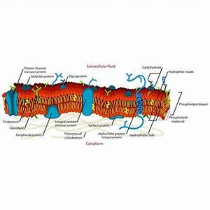 Description And Function Of The Cell Membrane Study Guide