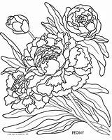 Coloring Peony Peonies Common Clipart sketch template