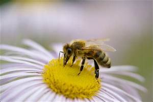 Mittel Gegen Bienen : bienen mehr als honiglieferanten freiheit f r tiere die zeitschrift die tieren eine stimme gibt ~ Frokenaadalensverden.com Haus und Dekorationen