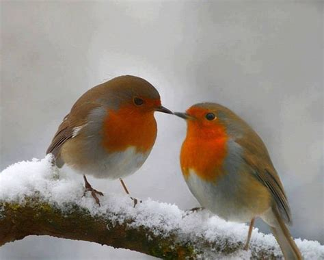 winter robins birds pinterest snow birds and robin bird