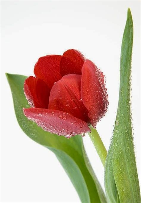 25 best ideas about tulips on flowers