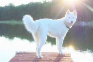 Pure White Siberian Husky with Blue Eyes | chien/kuce ...