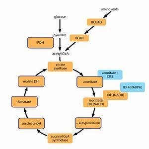 General Chemistry Ii  Campbellsville University  Fumarase