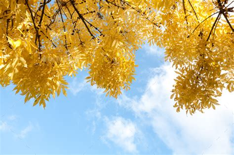 Fall Backgrounds Yellow by Autumn Yellow Leaves In Blue Sky Background Stock Photo By
