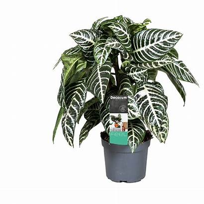 Zebra Plant Aphelandra Squarrosa