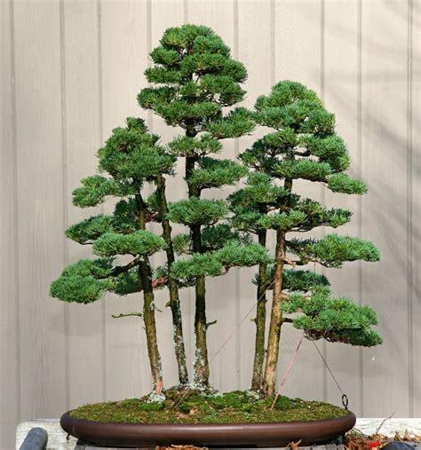 bonsai baum pflege bonsai baum pflege sorgen sie f 252 r eine sch 246 ne pflanze