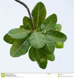 Ketapang Terminalia Catappa Indian Almond Leaves Royalty ...