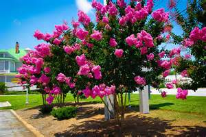 wholesale flowers miami sioux crape myrtle for sale online the tree center