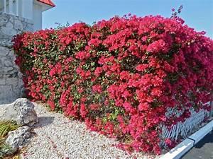 Arbuste Brise Vue : arbuste m diterran en qui respire l exotisme ~ Preciouscoupons.com Idées de Décoration