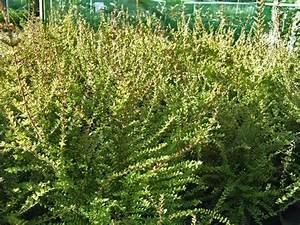 Arbuste Persistant Haie : lonicera nitida ~ Premium-room.com Idées de Décoration