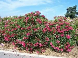 Laurier Rose Entretien : le laurier rose culture plantation taille entretien ~ Melissatoandfro.com Idées de Décoration