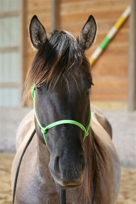 horse quarter ears profile strong eye breed foundation jaw saddle much centered attributes traditional