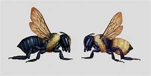 Is It a Carpenter Bee or Bumble Bee? - Colonial Pest Control