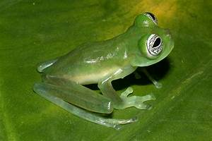 Ghost Glass Frog Facts and Pictures | Amphibian Fact