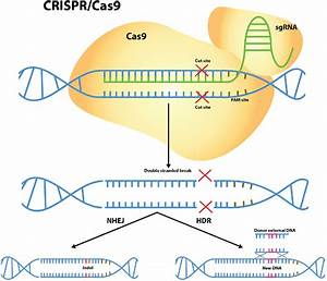Figure 1 From Science And Bioethics Of Crispr
