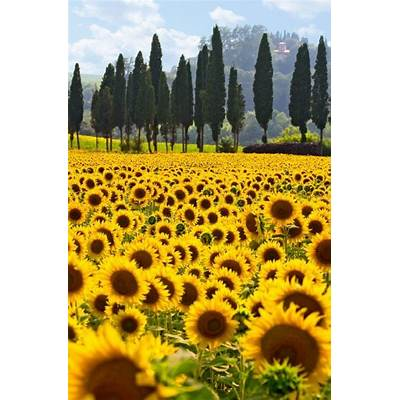Sunflowers Provence and Fields on Pinterest