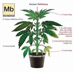 Fix A Molybdenum Deficiency In Your Cannabis Plants