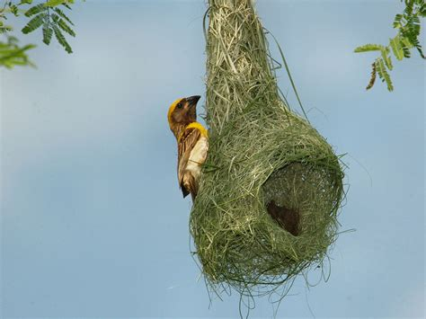 weaver nest arunachala birds indian bird nests part two