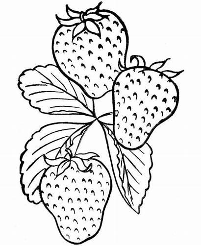 Fruit Coloring Strawberry Tasty Colhidos Horta Morangos