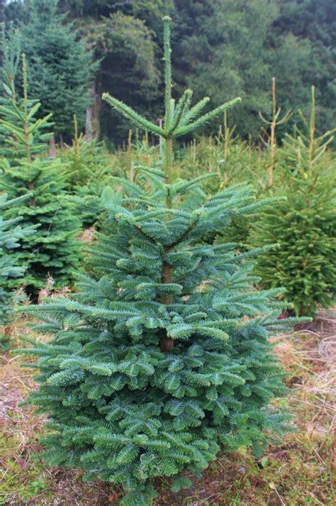 trees dartmoor christmas trees