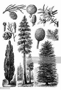 Pine Tree Stock Illustrations And Cartoons