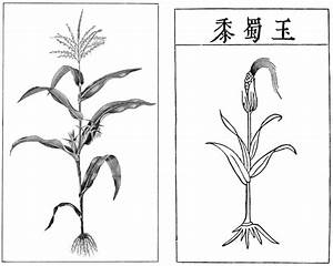 Corn Plant Drawing | www.pixshark.com - Images Galleries ...