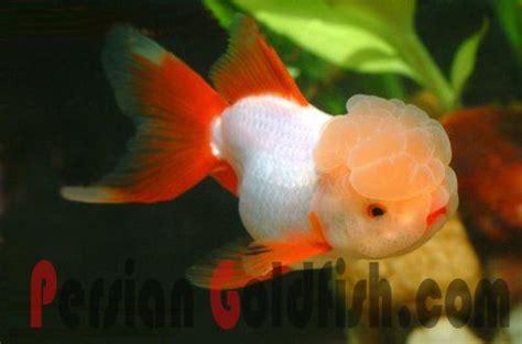 oranda goldfish ideas  pinterest pretty