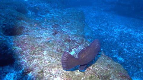 hawaiian grouper